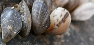 Mussels Hitch a Ride With Careless Boaters