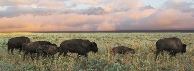 NPS Extends Public Comment Period on Initial Bison Herd Reduction Environmental Assessment for Grand Canyon