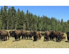 Bison Population At North Rim To Be Reduced