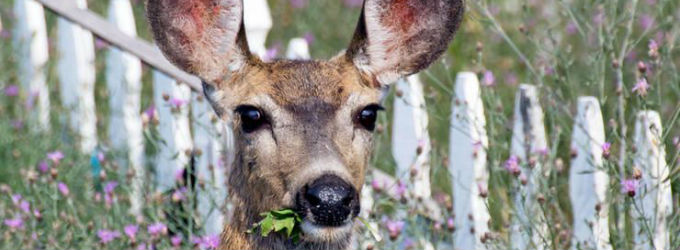 Holes Cut in Fence Causes Deer Fatalities