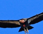 Sept 28th: California Condors to be Released