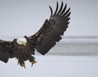 This is Utah's Bald Eagle Month; Come & See!