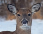 UDWR: Please Don't Feed Deer or Other Wildlife