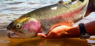 DWR launches tagged fish study for additional feedback from anglers